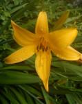Dagliljene kommer i mange ulike fargesjatteringer og dufter. Denne dufter svakt av aprikos