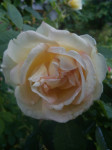 Den første rosen som springer ut hos meg er Frühlingsduft. Hele inngangspartiet omsluttes av en deilig duft av vanilje og rose.