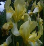 Denne Irisen fant jeg som en stor tue i et mørkt hjørne av hagen. Nå står den lyst og tørt og beløønner meg med mengder av lys gule blomster som dufter vanilje om kvelden. oR