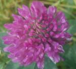 En fin Rødkløver gjør seg fint gjeldende blandt hagens blomsterflor